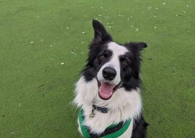 Meet Jasper. Jasper is a lovely boy who loves using his brain. He would love an active and training minded family who can help channel his intelligent mind into more appropriate outlets and keep up with his training that he's started at Wood Green.