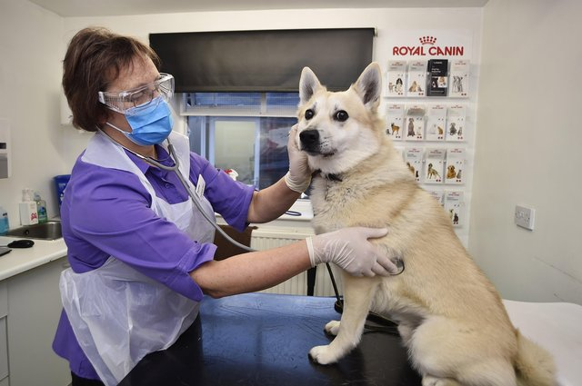 Dr Sarah Stonton at Best Friends Veterinary Group in Broadway with her Norwegian Buhund Jack. EMN-210120-110911009
