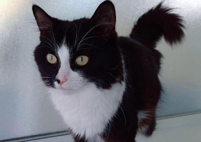 Felix is around 6 months old and was found abandoned in a cat carrier. Friendly, affectionate and playful, Felix will make a loving addition to one lucky family. He has recently been neutered, microchipped and vaccinated and is now ready for his furever home.
