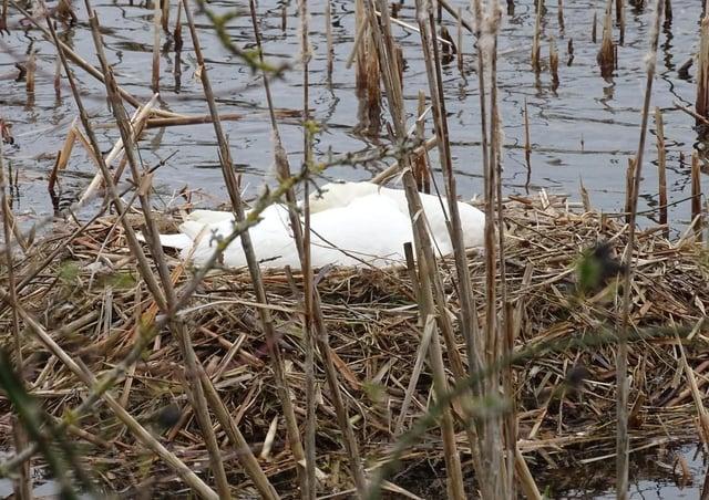 Swans' nest at Nene Park.