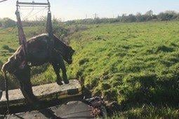 The cow being rescued (pic Cambs Fire and Rescue)