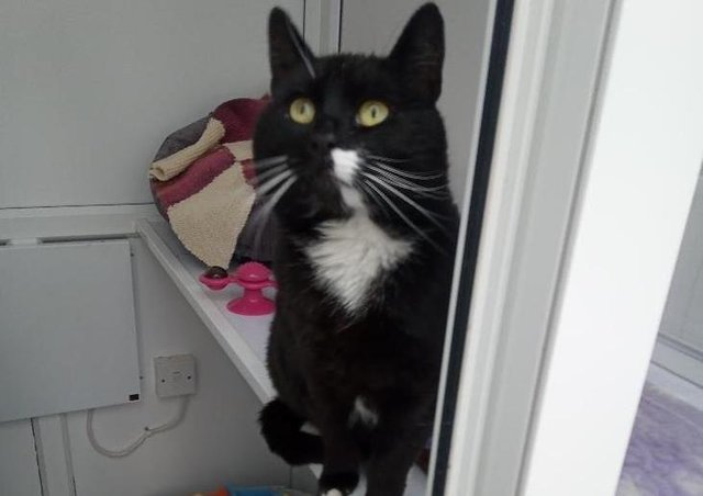 Five year old Bobby has come into us as his owner was sadly unable to keep him. He was a little shy on arrival but he is improving all the time and is now ready to find a new loving home. He does enjoy outside access so needs a home away from any busy roads where he can roam safely. He needs to be an only pet but could live with children aged 10 and over.