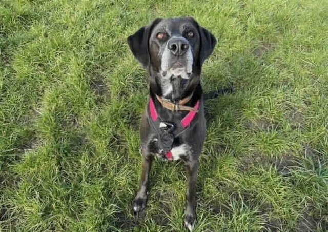 Meet the beautiful Pip! She is a 4 year old pointer cross who is looking for a new family. Pip came in to us from another centre. Pip can be a very worried lady so we are looking for experienced people who understand dog body language. Once Pip knows you she is an absolute joy to be around! She goofy and loves charging around after toys she also loves a cuddle, however Pip can be very unsure around new people which is why we need someone who can continue her training. We have found that Pip has been perfect meeting new people if its done in the correct way but she really struggles if she is suddenly put in a position that worries or startles her. For this reason we are looking for a nice quiet location where there are not many visitors or people out and about on walks so that Pip can learn to settle. Pip had some X-rays whilst she was with us and has slight signs of hip dysplasia. She has been seen by a vet and is fit for rehoming and does not currently require any surgery. Pip could possibly live with a cal