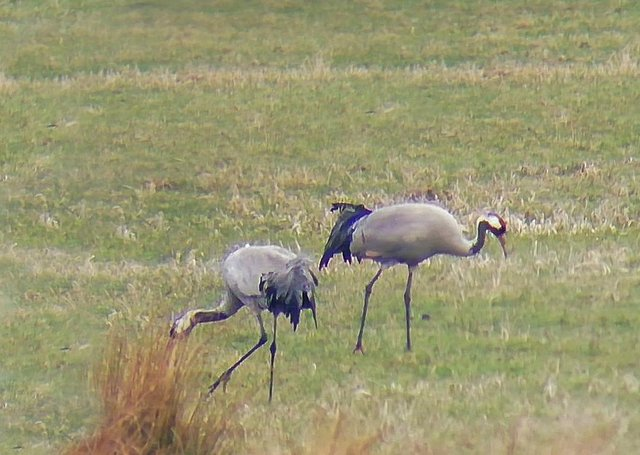The adult cranes at the Lincolnshire nature reserve. Photo: Lincolnshire Wildlife Trust