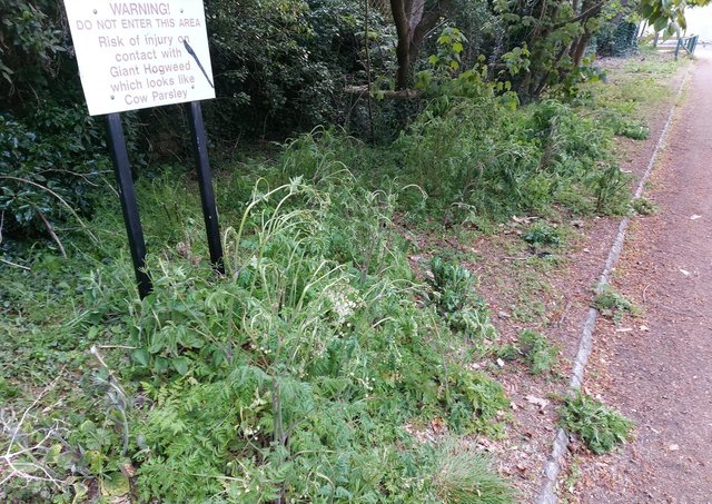 Verges weedkiller has been applied to in Orton Longueville. Photo: David Thomson.