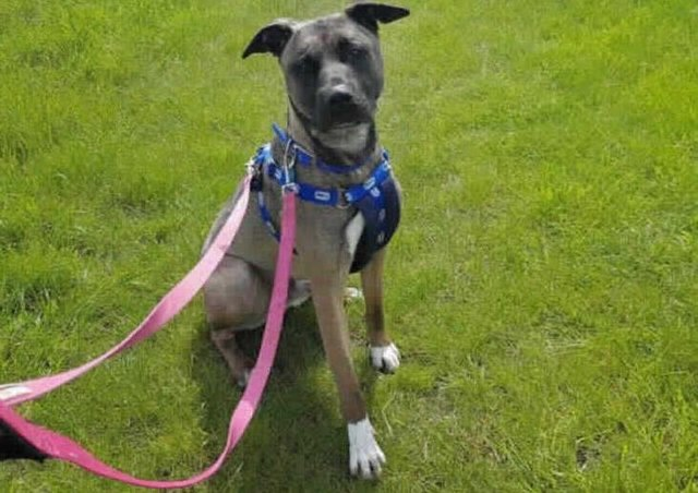 Alfie is a gorgeous young boy who is looking for loving family. He came from another animal centre and so would enjoy being in a home with some comforts and much needed TLC. We are unsure on most of Alfie's background so he would need a home that is willing to accept any quirks that he comes with. He might not have lived in a home and so could be scared of everyday things such as a hoover or washing machine. Alfie is a big goofball who loves having a mad five minutes and ending up squished under your arm for a cuddle. He is very intelligent and knows a vast amount of commands which he is happy to show you for a good treat or some peanut butter. Alfie walks nicely on lead but can get a little anxious walking past unknown dogs and mouths his lead, he has however been mixed with other dogs here at the centre and he really likes them. We think alot of his behaviour is frustration. Alfie can get a little restless and doesn't like to be confined to one small area.
