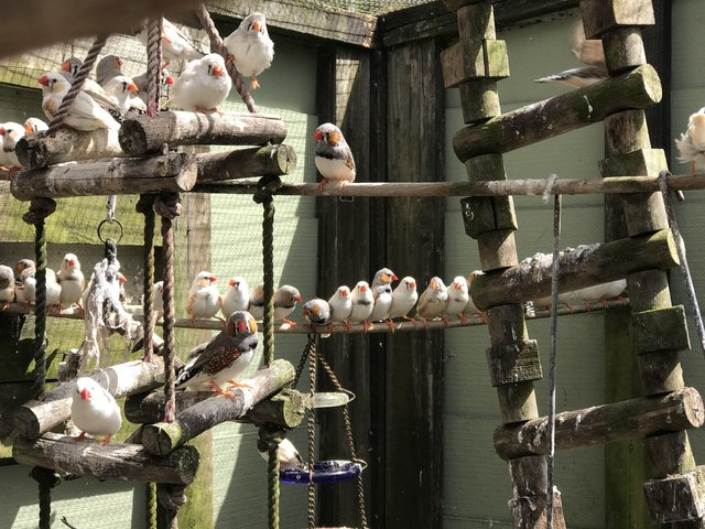Some of the zebra finches