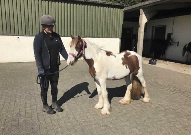 Sparkle has rallied well despite a troubled start. She was nervous, very lean when she first came into RSPCA care. She should make 12.0hh. She is very easy to handle and has a quiet temperament. We are hopeful this youngster will make a lovely family pony. Sparkle has a passport applied for, is microchipped and fully vaccinated. Adoption fee £300.