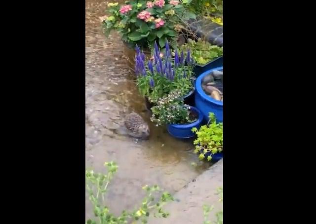 The hedgehog in Toby Wood's garden.